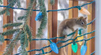 Red squirrels go nuts for Christmas lights, but reason remains a mystery