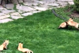 Family of foxes playing resembles a scene from a fairy tale