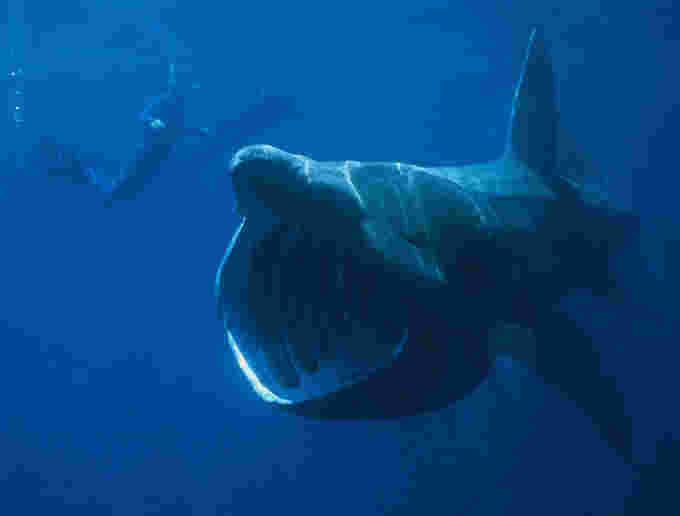 Basking shark Chris Gotschalk Wikimedia