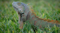 Beware of falling iguanas! Alberta warmer than this vacation destination