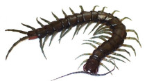 New (and large) amphibious centipede discovered