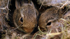 Found a bunny nest? Here's what to do