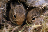 Keeping baby bunnies safe: A few tips