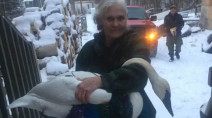 Injured swan 'commandeers' N.W.T. woman's bedroom