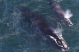 Right whales return to Atlantic Canada with 7  babies in tow