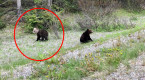 Bear cub with unique white head spotted in Alberta