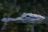 Only in Florida: Giant alligator crosses Canadian couple