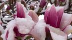 With snow on your spring garden, will your plants make it through the cold?