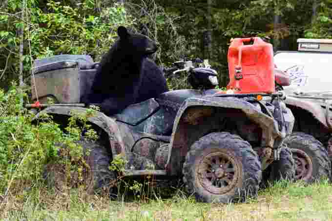 bear on quad