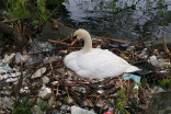 Swan seen building nest from plastic in southern Ontario park