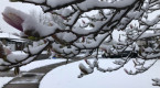 Spring snow impacts travel, early blossoms across southern Ontario