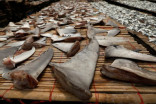 Environmentalists applaud Canadian ban on shark fin imports
