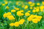 Here's why you shouldn't mow dandelions