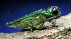 Emerald ash borer infestation in Bedford, N.S., worse than previously believed