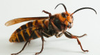 More Asian giant hornets eradicated in the Pacific Northwest, sparks concerns
