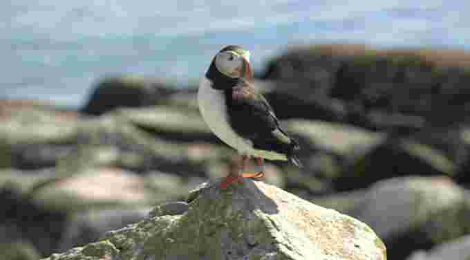 Nathan Colman: Puffin in New Brunswick