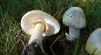Authorities issue warning after death cap mushroom found in Vancouver