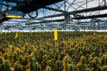 Cannabis cultivation has an enormous carbon footprint, study finds