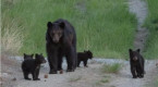 'Very rare': Black bear sow with 5 cubs spotted near Penticton, B.C.