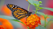 Monarch butterflies' spectacular migration is at risk, new plan set to save them