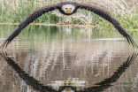 Ontario photographer's shot of bald eagle goes viral