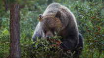 Unusual amount of grizzly bear sightings on Vancouver Island
