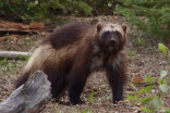 Have you ever seen a wolverine? Why researchers want to know