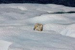 Polar bear dens aren't being accurately tracked, new study says