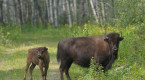 Free-ranging Sask. bison herd begins to make comeback