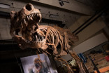 Canadian T-rex 'Scotty' takes title for biggest ever found