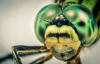 Five fascinating facts about dragonflies