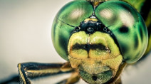 Dragonflies eat horseflies! (And 4 other things you might not know about)