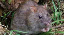 Combine a global pandemic and a warm winter and you get … rats?