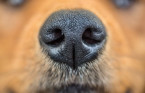 Many dogs trained to sniff out coronavirus have 100% success rate