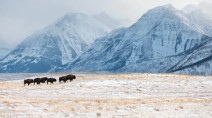 Bison roam in Waterton Park once again with small herd