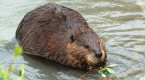 Internet down in Tumbler Ridge, B.C., after beaver chews through fibre cable