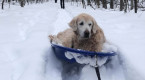 Senior dog won't give up on winter walking, learns to sled instead