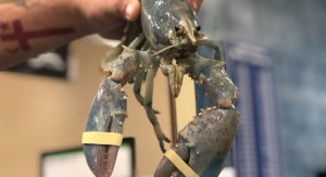 Canadian fisherman catches 1 in 100 million albino lobster