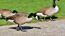 Watch these geese walk across the Canada-U.S. border