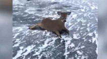 WATCH: Three deer rescued from frozen lake in Ontario