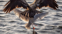 Photographer captures seagull fighting eagle while entangled in a plastic bag