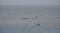 Hundreds of whales stranded on sandbar near Australia, rescue efforts underway