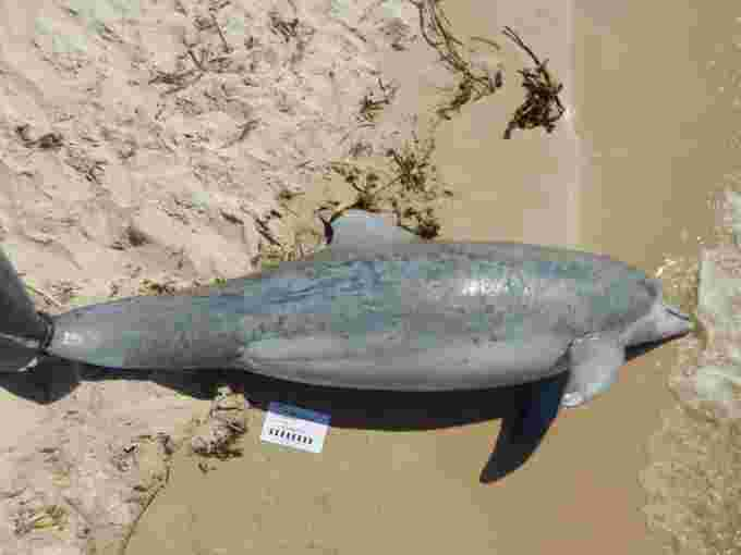 noaa bottle nose dolphin skin lesions