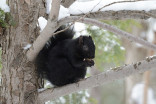 How the black squirrel's coat gives it an edge in Canada
