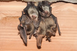 Family finds attic of new home filled with legally-protected bats