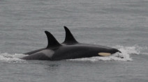 Orca that carried her dead calf for 17 days is pregnant again