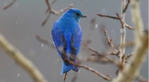 Where to catch a glimpse of Alberta's mountain bluebird this spring