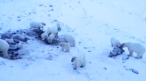 Dozens of hungry polar bears filmed lurking just outside of Russian village