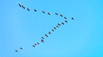 Migrating birds' V-shaped flights have some amazing science behind them