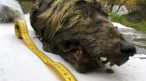 40,000 year old wolf head found perfectly preserved in ice
